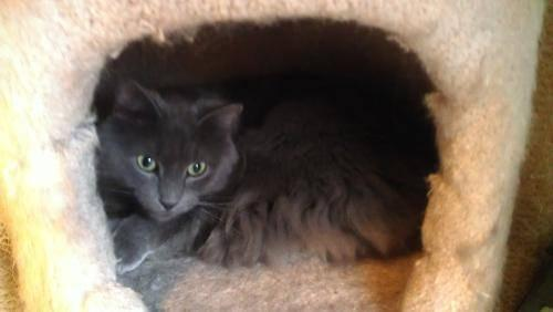 Domestic Medium Hair - Gray - Earl (mp) - Medium - Adult - Male