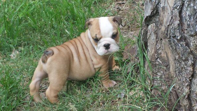 AKC English Bulldog Puppy named Mon Mon