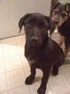 (Cute male lab /TERRIER puppy needs good home 5 months