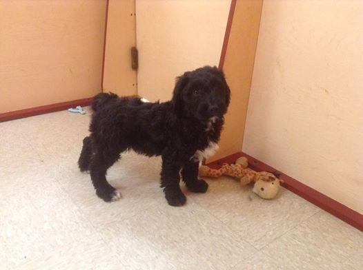 Goldendoodles for Sale in Jackson, New Jersey Classified