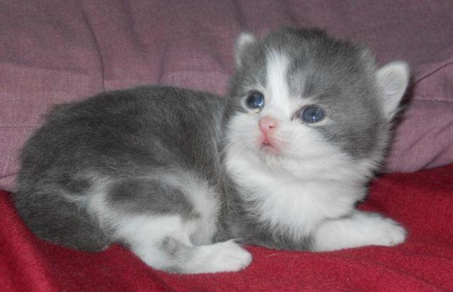 Bob-Tailed Persian !