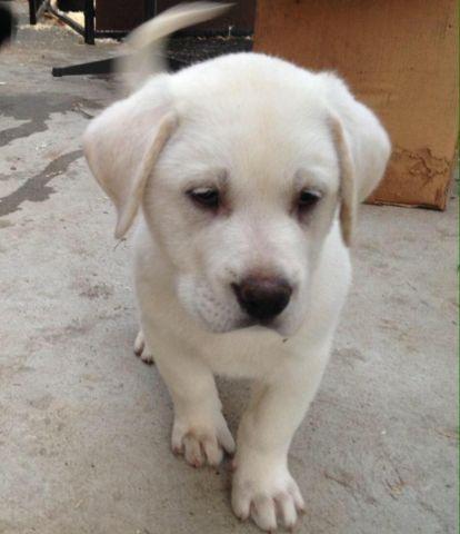 Great Pyr / newfoundland puppy