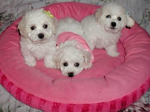 Bichon Frise Puppies - Non shedding dogs! for Sale in Apple