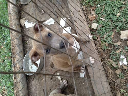 Brindle blue nose puppies