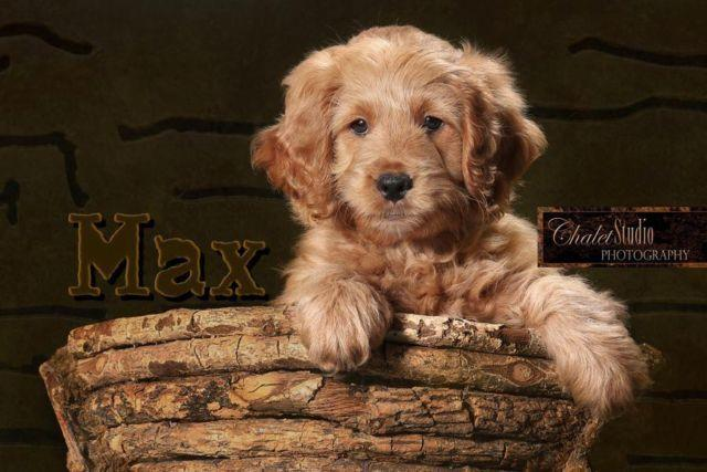 F1 Miniature (mini) Goldendoodle puppies- Now Booking litter due