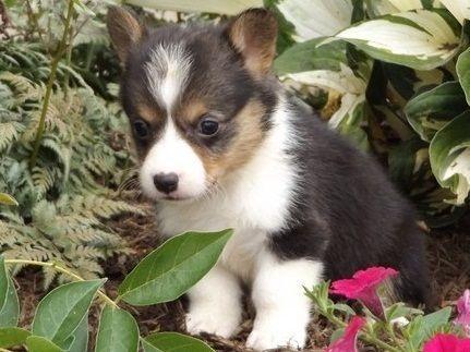 dsdfsf Pembroke welsh corgi puppies now ready for sale.