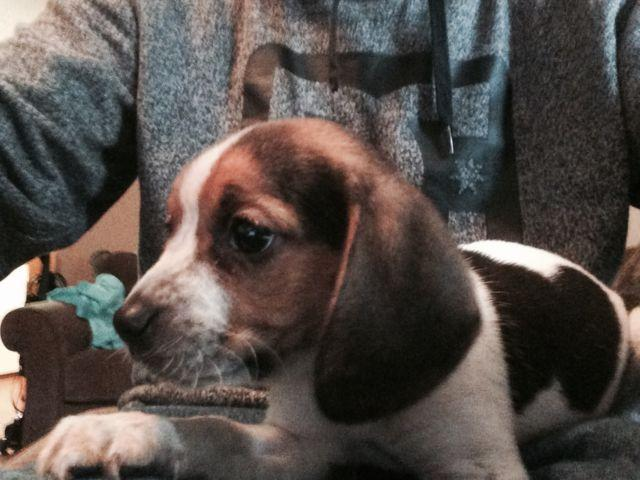 Pocket Beagle Puppies Oepb Registered For Sale In Dallas Oregon