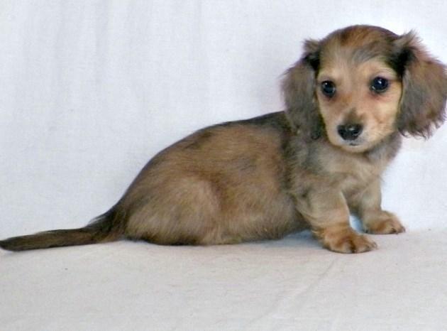 akc dachshund male cream dapple out of ch/cr dapple sire ch lines