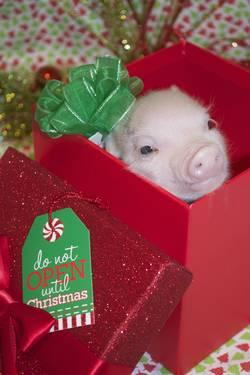 Christmas Micro Mini Piglets! $100 off now through Christmas night!!