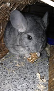 Chinchilla for Sale - 1 year Old - Sweet and Loving