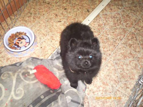 CKC 9 WEEKS OLD BLACK POMERAMIAN