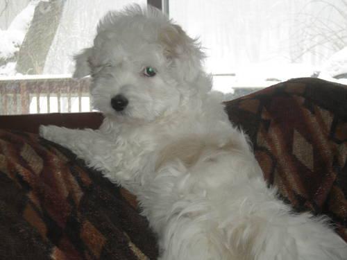 yorkie puppies 12 weeks old ( C.K.C.)
