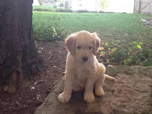 Extremely cute Goldendoodle Puppies - 8 weeks old Can go at an ANYTIME