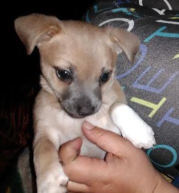 Adorable 8 week old Chuhuahua