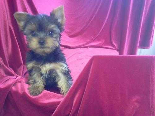 AKC Yorkshire 8 weeks old male puppys