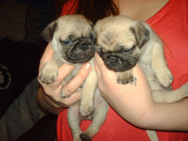 pug puppies 4 left at 8 weeks old now and ready to go home