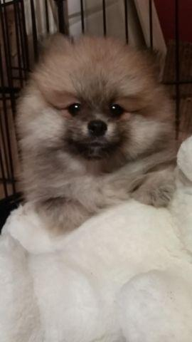 beautiful 9 week old Pomeranian male