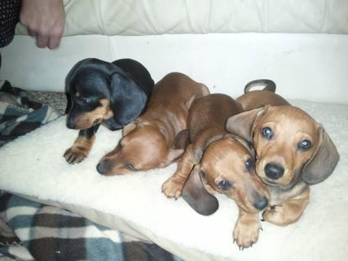 2 Beautiful 8 week old red dachshund pups