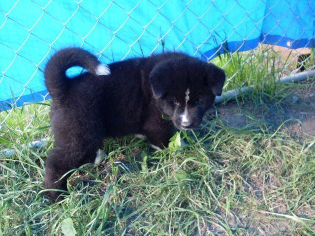 AKC Akita six weeks old registered litter