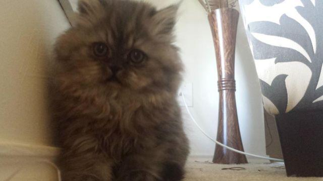Two Adorable Persian Kittens! 9 Weeks Old, So Fluffy and Playful!