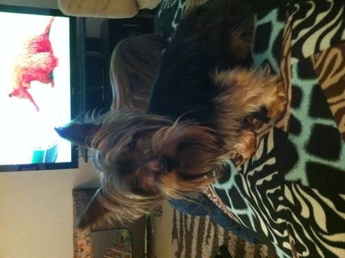 female yorkie 2 years old to good home
