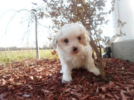 Cavapoo Puppies - Born on Easter Sunday for Sale in Foster