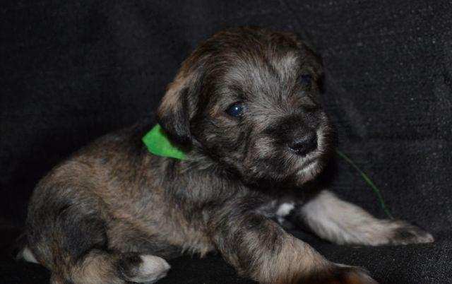 AKC Miniature Schnauzers! Only Males Left!