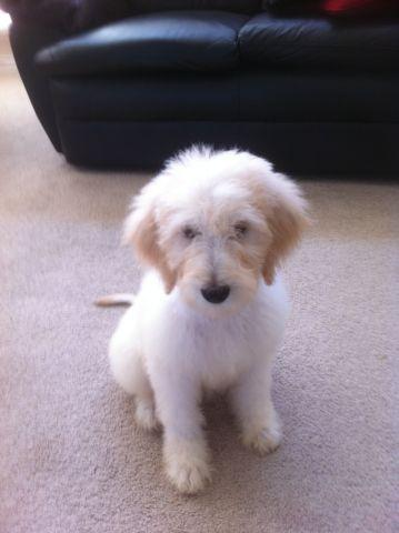 Goldendoodle Puppies - Oodles of Doodles for Sale in Denton