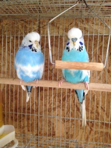 English Budgie Pairs