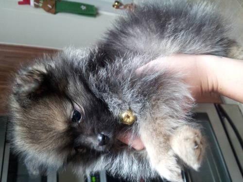 Pomeranian female with papers CKC