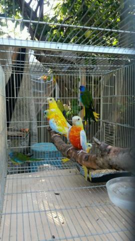 Grass Parakeets