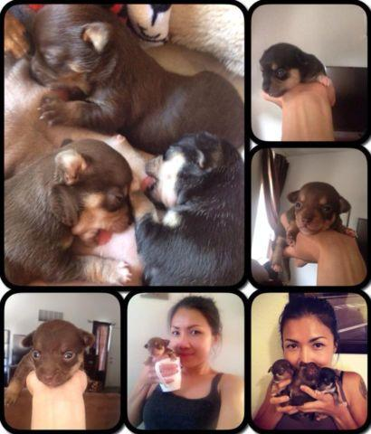 Puppies Chihuaha for SALE! both parent can be seen