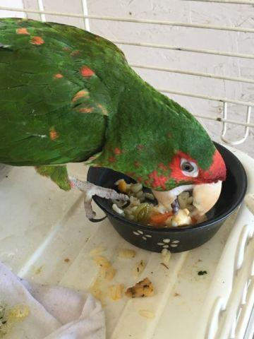 Great billed parrot $1950