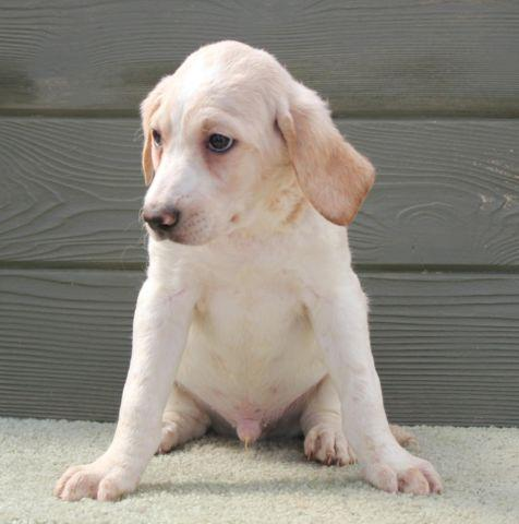 King - tan and white parti male labradoodle puppy
