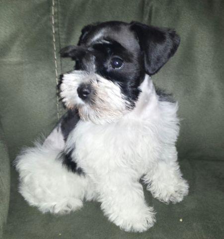 GORGEOUS Miniature Schnauzer Puppy Black Parti Toy Size Female
