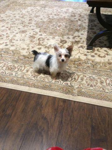 Akc registered parti Yorkie