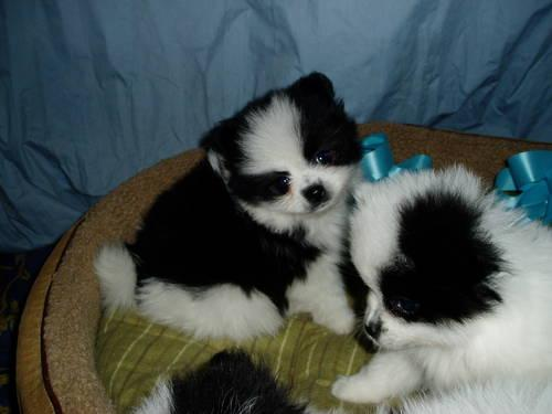 party pomeranian puppies for sale black white teacup party pomeranians puppies for sale in 1590