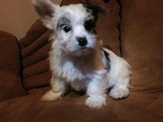 Akc registered party yorkie