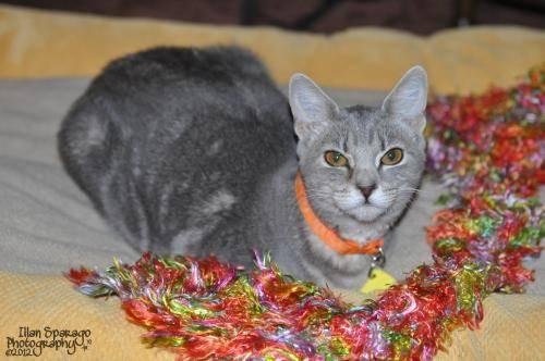 Domestic Short Hair - Gray - Sweet Pea - Medium - Young - Female