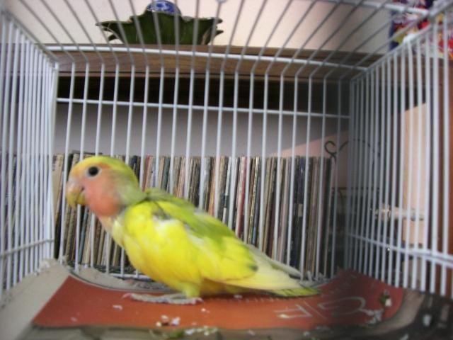 Yellow and green peachface lovebird babies