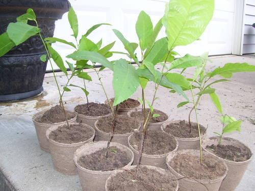 YOUNG NATIVE PECAN TREES