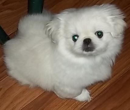 Gorgeous white Pekingese girl