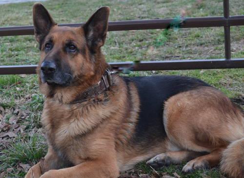German Shepherd 100 percent german bloodlines