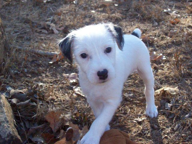 Adorable Jack Russell perfet markings.