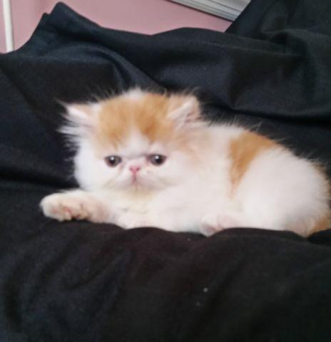 Red Tabby and White Persian Boy Available