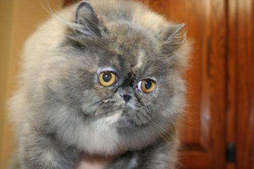 Blue-Cream female persian kitten