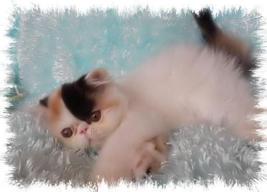 Beautiful Calico Pure Persian Kitten Available