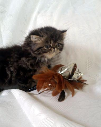 Adorable Brown Tabby Persians Available