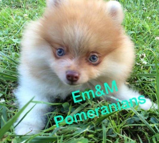 Pomeranian pups pet only