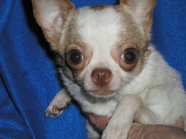 TINY female Chihuahua for pet only!!!super snuggler